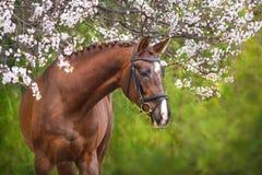 Ritratto rosso del cavallo nel fiore di primavera Fotografia Stock