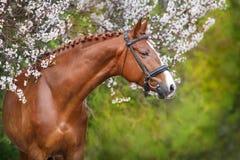 Ritratto rosso del cavallo nel fiore di primavera Immagini Stock Libere da Diritti