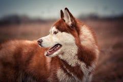 Ritratto rosso di profilo del cane del husky siberiano Fotografie Stock Libere da Diritti