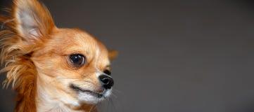 Ritratto rosso divertente della chihuahua immagini stock libere da diritti