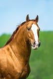 Ritratto rosso dorato del cavallo di Don nell'ora legale fotografie stock libere da diritti