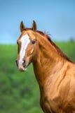 Ritratto rosso dorato del cavallo di Don nell'ora legale fotografia stock libera da diritti