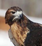 ritratto Rosso-munito del falco Immagini Stock