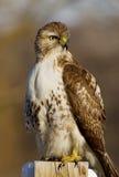 ritratto Rosso-munito del falco Fotografia Stock