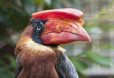 Ritratto rufous dell'uccello del bucero del bucero filippino Immagini Stock