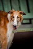 Ritratto russo del Borzoi del cane Fotografie Stock Libere da Diritti
