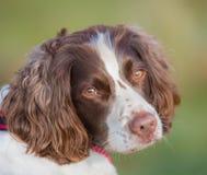 Ritratto sano del cane di animale domestico Fotografia Stock Libera da Diritti