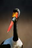 ritratto Sella-fatturato della cicogna Fotografia Stock