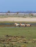 Ritratto selvaggio corrente dei cavalli di Konik Immagini Stock