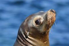 Ritratto selvaggio del leone marino che guarda indietro Immagini Stock Libere da Diritti