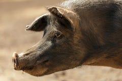Ritratto selvaggio del maiale Immagine Stock