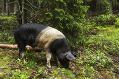 Ritratto selvaggio del maiale Fotografia Stock