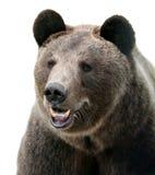 Ritratto selvaggio dell'orso bruno Immagine Stock Libera da Diritti