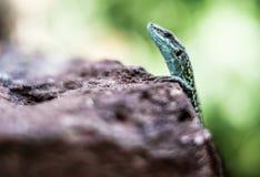 Ritratto selvaggio della lucertola fotografie stock libere da diritti