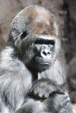 Ritratto serio della gorilla fotografia stock
