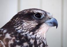 Ritratto serio di Eagle dalla destra ai precedenti bianchi Fotografie Stock