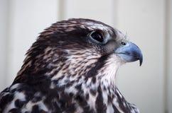 Ritratto serio di Eagle dalla parte di sinistra a fondo bianco Fotografie Stock Libere da Diritti