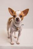 Ritratto shot-7 del cane Fotografia Stock Libera da Diritti