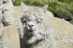 Ritratto simile a pelliccia bianco della lama Fotografie Stock Libere da Diritti