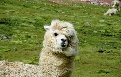 Ritratto simile a pelliccia bianco della lama sul prato verde Immagine Stock