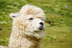 Ritratto simile a pelliccia sveglio dell'alpaga Fotografia Stock