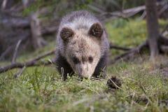 Ritratto soleggiato del cucciolo di orso su erba Fotografie Stock