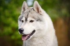 Ritratto sorridente del cane grigio del husky siberiano Fotografia Stock Libera da Diritti