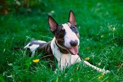 Ritratto sorridente del cucciolo di cane di bullterrier su un'erba verde un giorno soleggiato Immagini Stock