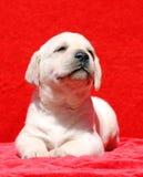 Ritratto sorridente del cucciolo giallo felice di labrador su rosso Immagini Stock Libere da Diritti