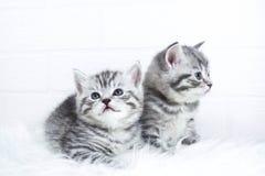Ritratto a strisce di colore di Whiskas dei gattini scozzesi Fotografie Stock Libere da Diritti