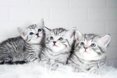 Ritratto a strisce di colore di Whiskas dei gattini scozzesi Fotografia Stock Libera da Diritti