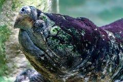 Ritratto subacqueo della tartaruga di schiocco dell'alligatore Fotografia Stock Libera da Diritti