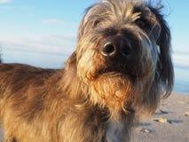 Ritratto sveglio del cane che guarda diritto nella macchina fotografica Fotografie Stock Libere da Diritti