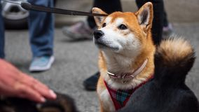 Ritratto sveglio del cane di inu di Shiba fotografia stock libera da diritti