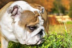 Ritratto sveglio del cucciolo del bulldog Fotografia Stock