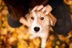 Ritratto sveglio del cucciolo di border collie della testarossa il suo sguardo della gente immagini stock