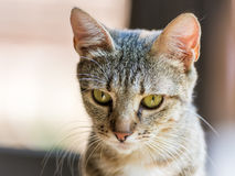 Ritratto sveglio del gatto Immagine Stock Libera da Diritti