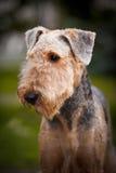 Ritratto sveglio del Terrier di Airedale Fotografie Stock