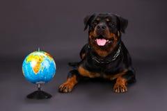Ritratto sveglio di rottweiler con il globo Fotografia Stock Libera da Diritti