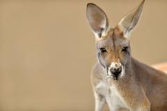 Ritratto sveglio di un canguro Fotografia Stock Libera da Diritti