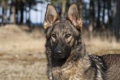 Ritratto tedesco del cane pastore Fotografie Stock