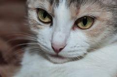 Ritratto tricolore del gatto Fotografia Stock