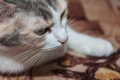 Ritratto tricolore del gatto Immagine Stock