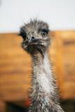 Ritratto triste dell'emù dello struzzo di breve distanza Immagini Stock Libere da Diritti