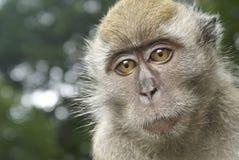 Ritratto triste della scimmia fotografie stock