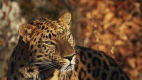 Ritratto vicino del leopardo raro dell'Amur che gode del sole in Primorsky Safari Park, Russia video d archivio