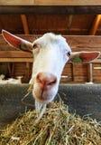 Ritratto vicino della capra Immagini Stock