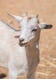 ritratto vicino della capra su bianco Fotografie Stock Libere da Diritti