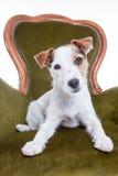 Ritratto vicino di piccola presa russell su una sedia Fotografia Stock