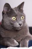 Ritratto vicino gatto russo/carthusian blu femminile Immagini Stock Libere da Diritti